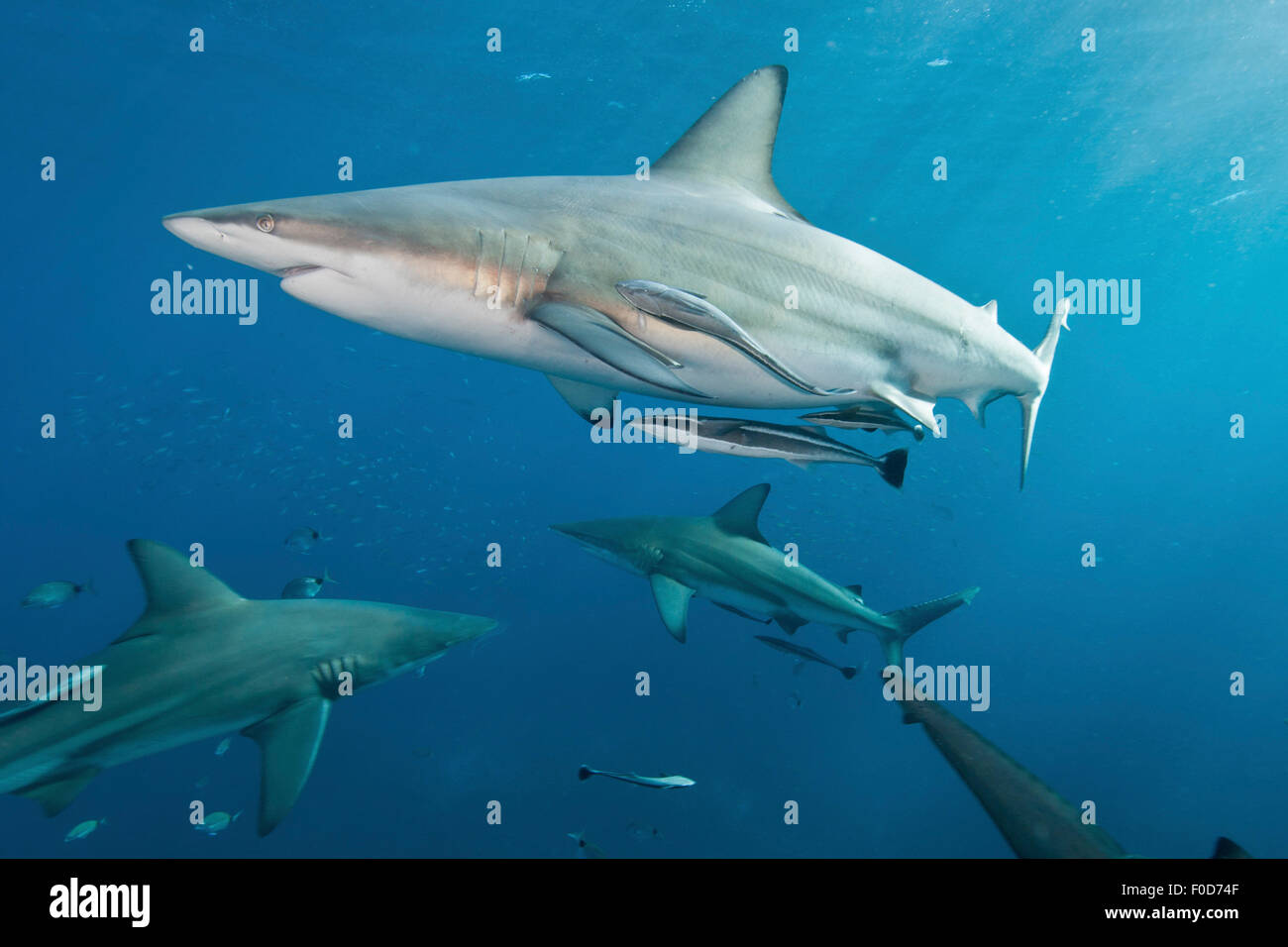 Several oceanic blacktip sharks swim by with remora in tow, Aliwal Shoal, Umkomaas, KwaZulu-Natal, South Africa. Stock Photo