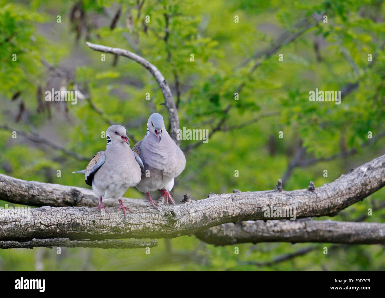 Turtle Dove (Streptopelia turtur) pair, Pusztaszer, Hungary, May 2008 - Stock Image