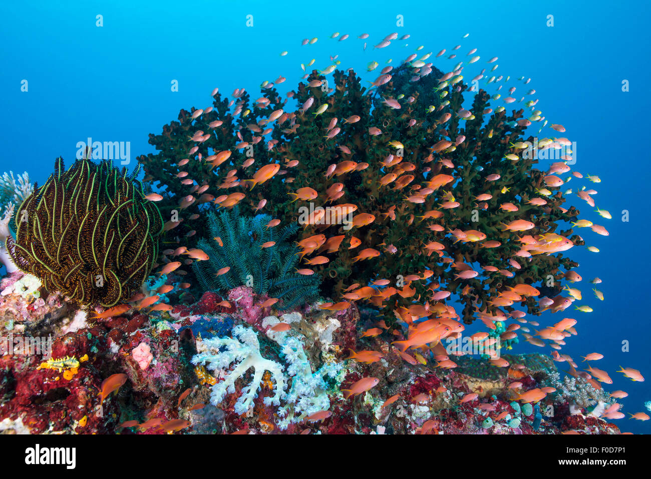 Deanse school of orange, pink and yellow anthias radiating from a colorful reef with green hard coral and yellow Stock Photo