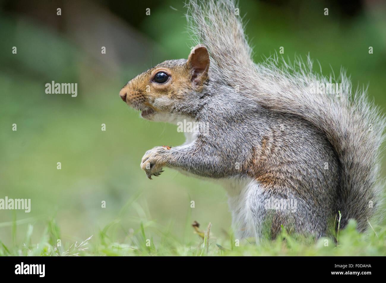 A Grey Squirrel (also known as Eastern Gray Squirrel (Sciurus carolinensis). Stock Photo