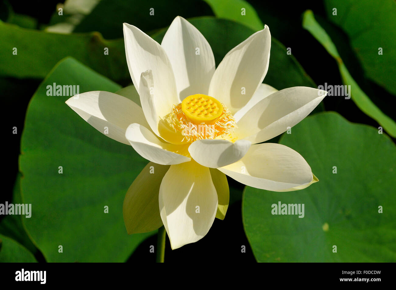 Lotus Flower High Resolution Stock Photography And Images Alamy