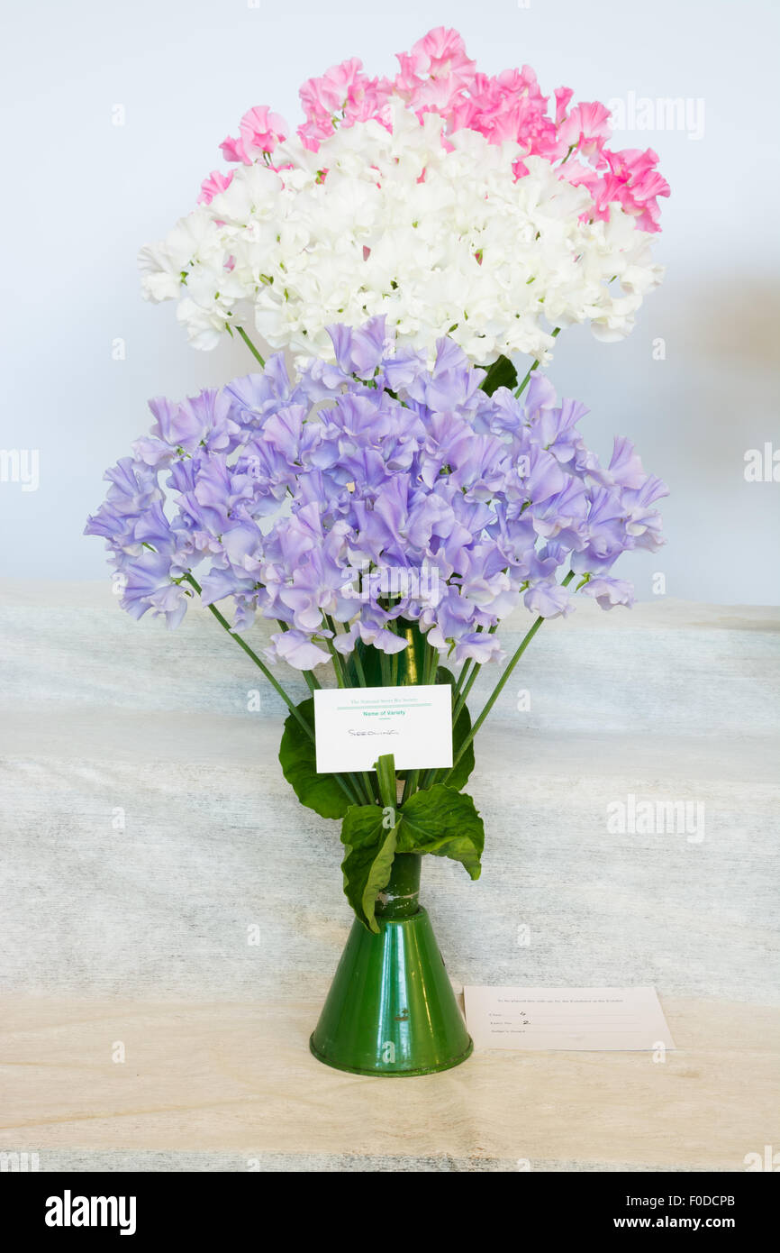 Sweet peas in vases at a show - Stock Image