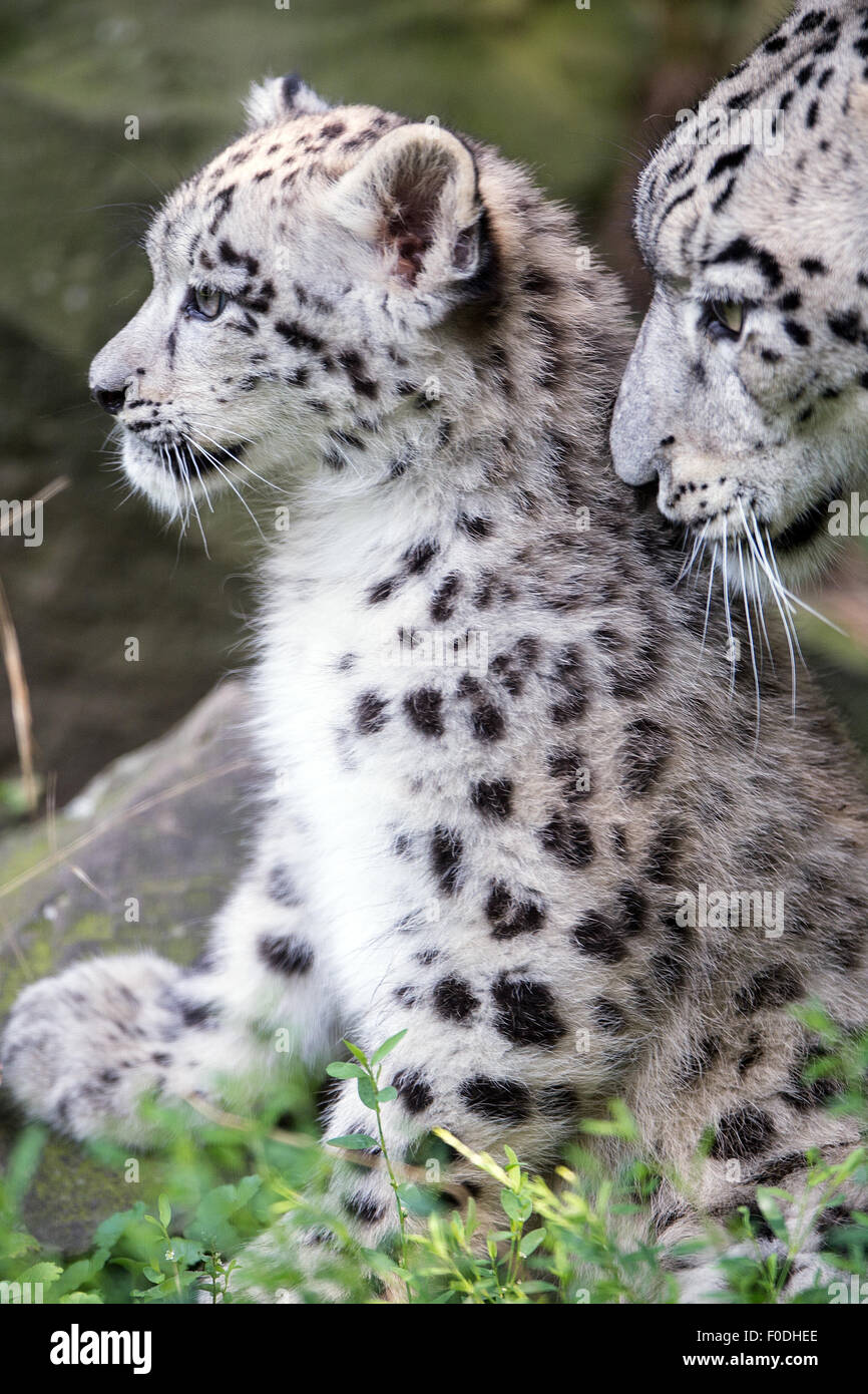 Cologne, Germany. 13th Aug, 2015. The snow leopard mum Siri with her cub Barid in their enclosure in the Cologne - Stock Image