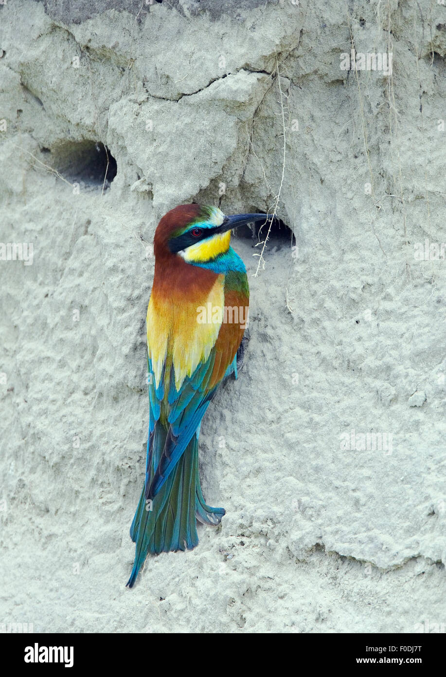 European Bee-eater (Merops apiaster) at nest hole in sand bank, Pusztaszer, Hungary, May 2008 - Stock Image