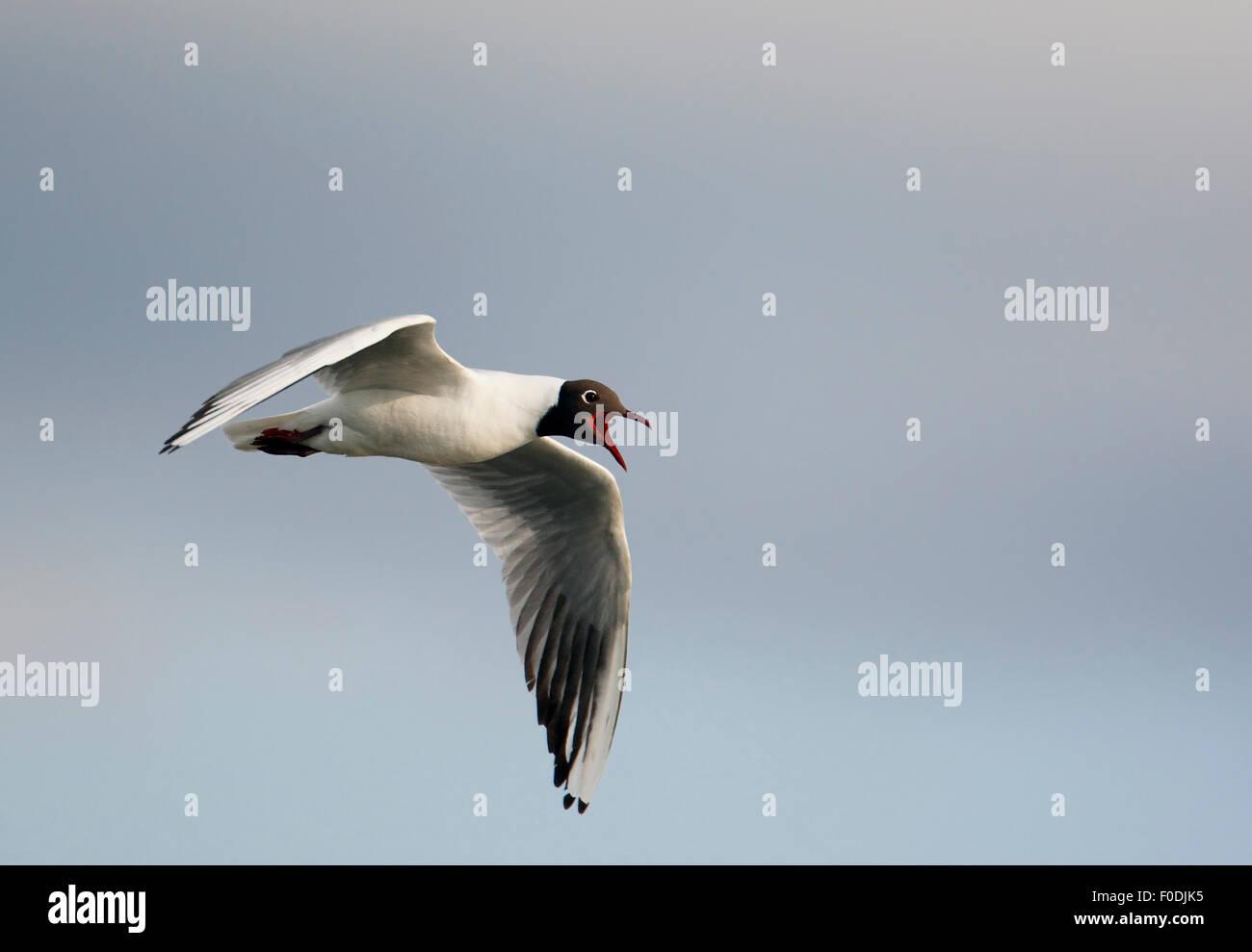 Black-headed gull (Chroicocephalus ridipundus) calling in flight, Pusztaszer, Hungary, May 2008 - Stock Image
