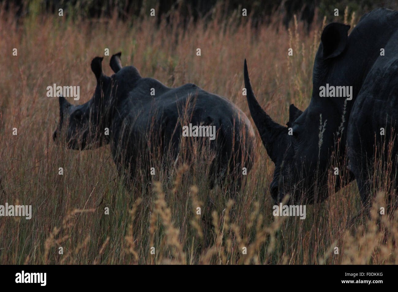 A white rhino mother and calf in South Africa - Stock Image
