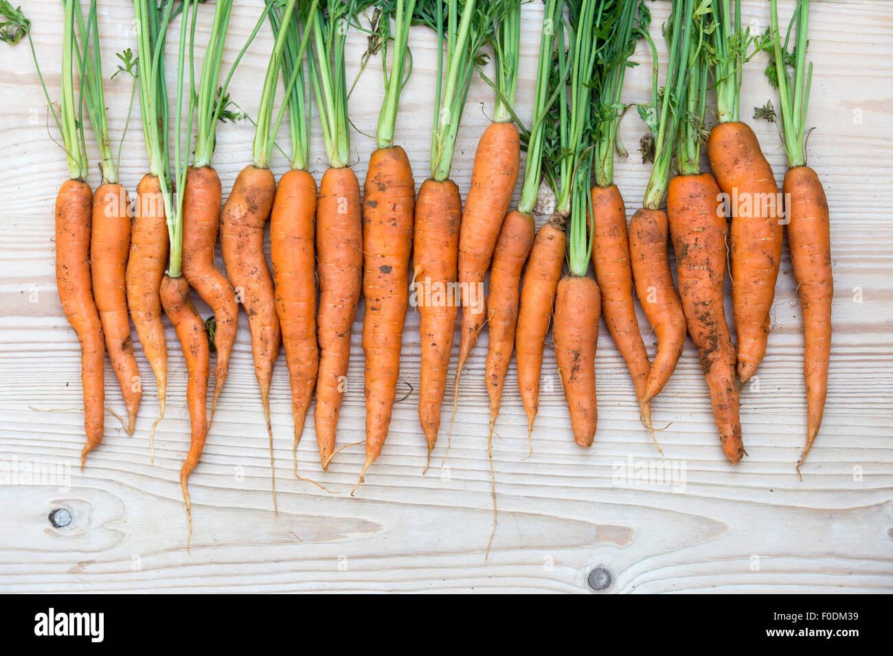 Daucus carota. Freshly dug organic carrots - Stock Image