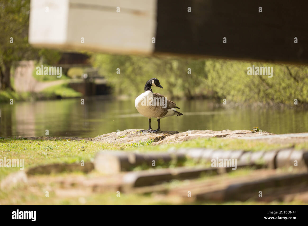Canada Goose standing just watching, viewed from the other side of a lock gate beam. - Stock Image