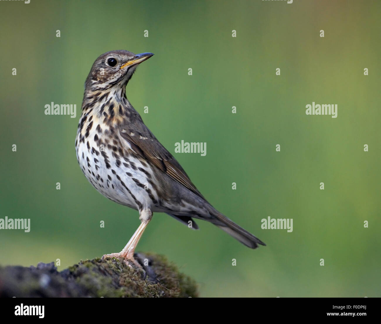 Song Thrush (Turdus philomelos) perched, Pusztaszer, Hungary, May 2008 - Stock Image