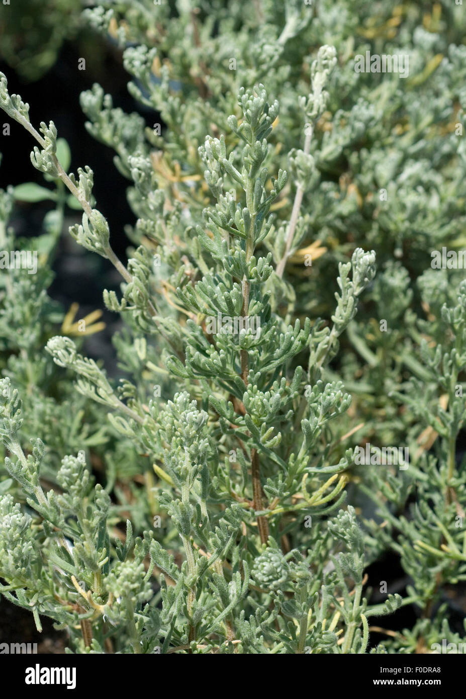 Anti-Mueckenpflanze; afrikanischer Rosmarin; Eriocephalus africanus, Heilpflanzen, - Stock Image