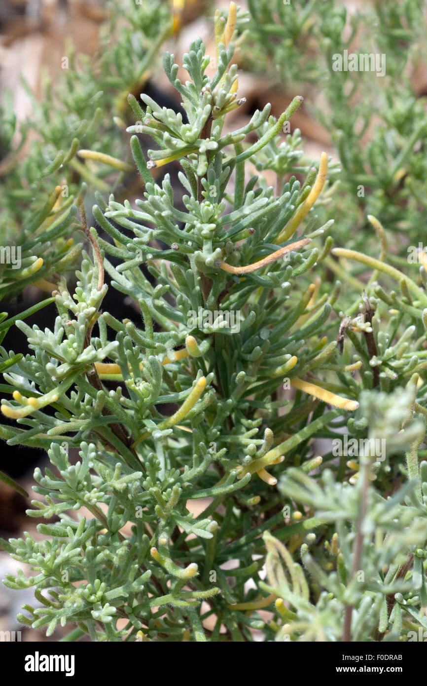 Anti-Mueckenpflanze; afrikanischer; Rosmarin; Eriocephalus; africanus; - Stock Image