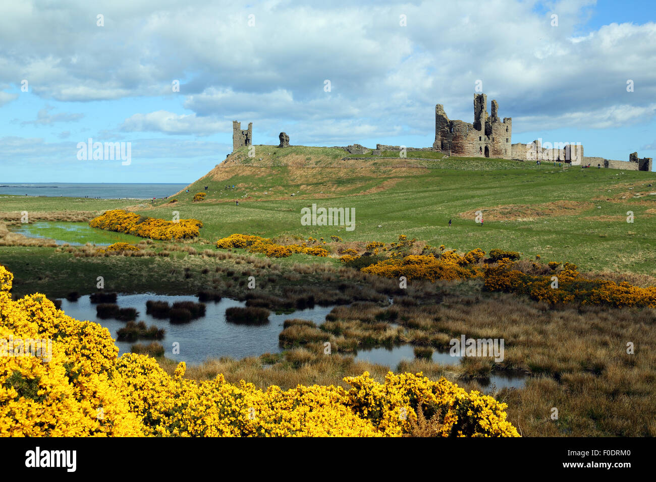 Dunstanburgh Castle, Northumberland, with a pond and Gorse in flower in the foreground - Stock Image