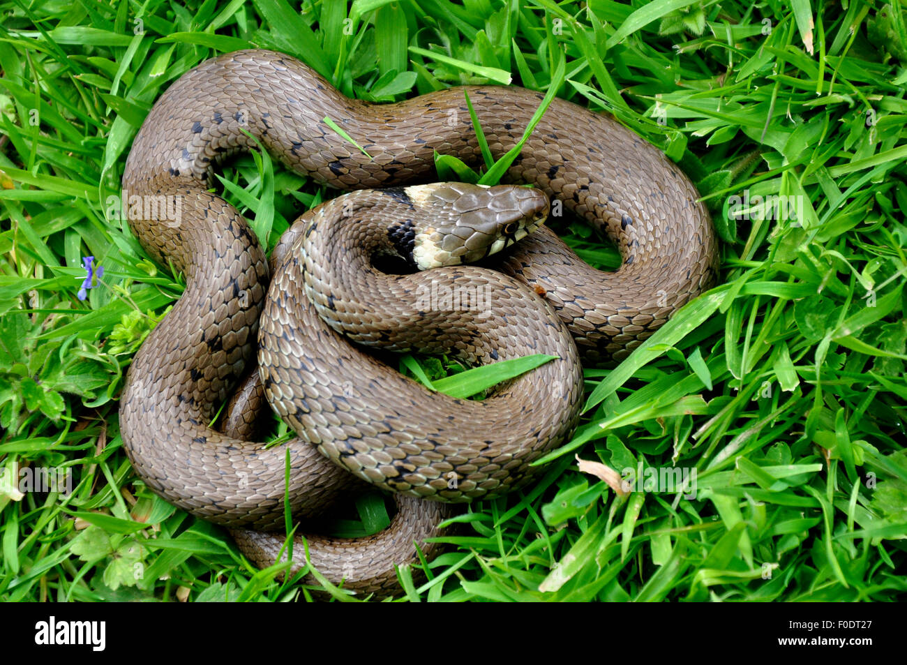 Grass snake curled up in grass UK - Stock Image