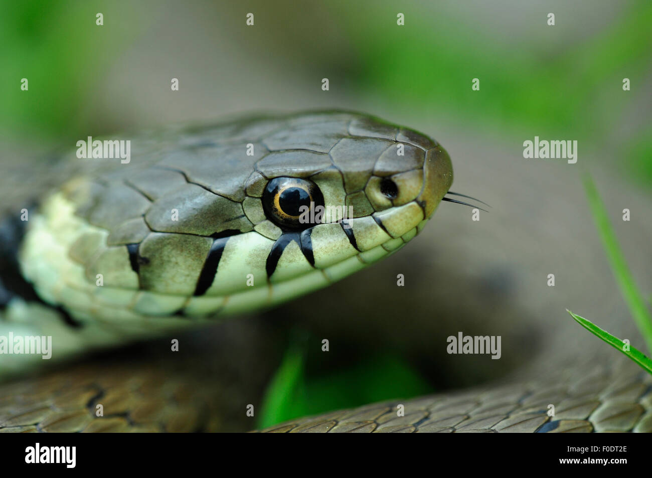 The head of a grass snake with its tongue just poking out UK - Stock Image