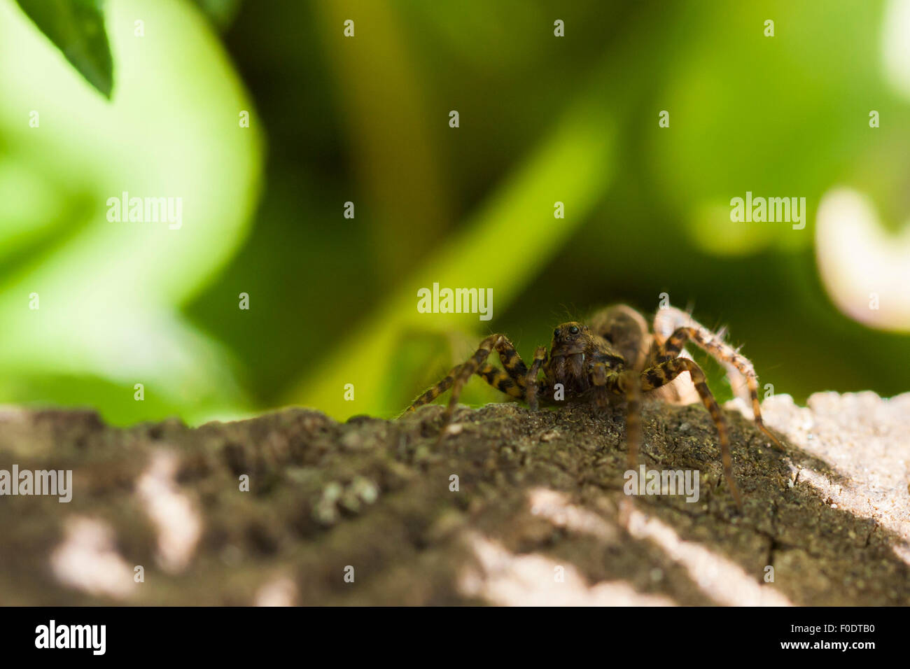 A Spotted Wolf spider hiding in the shade on some wood. - Stock Image