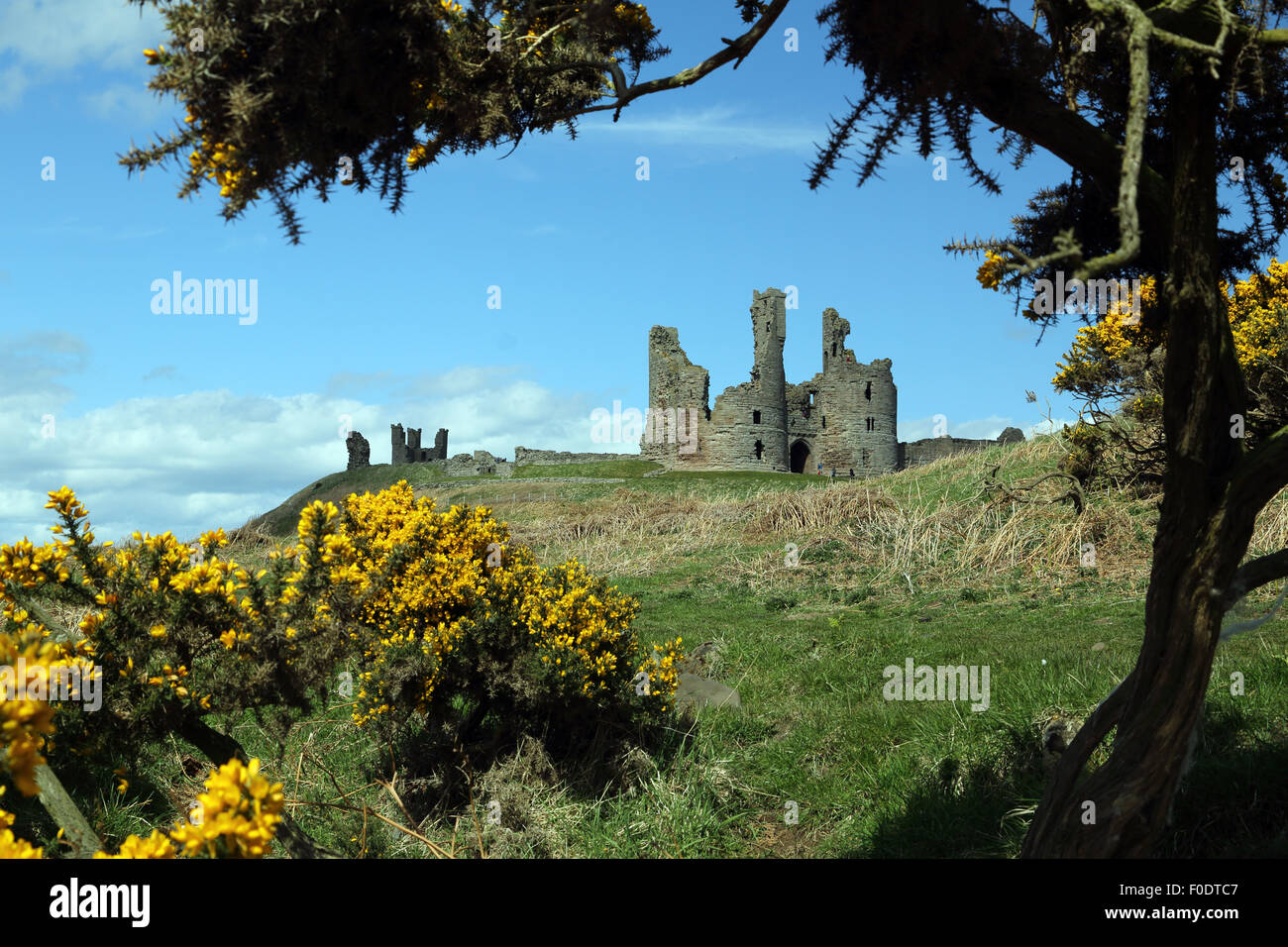 Dunstanburgh Castle, Northumberland, framed by a tree and Gorse in flower in the foreground Stock Photo