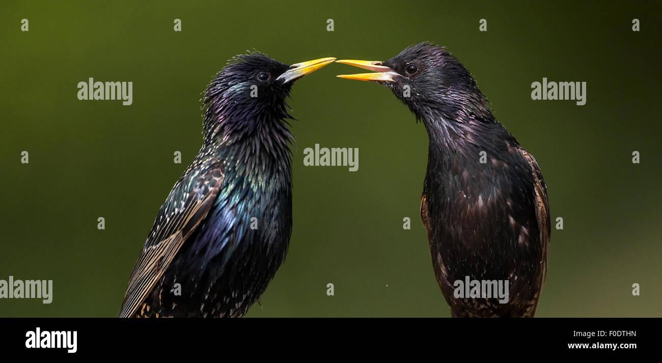 Two Common Starling (Sturnus vulgaris) interacting, Pusztaszer, Hungary, May 2008 - Stock Image