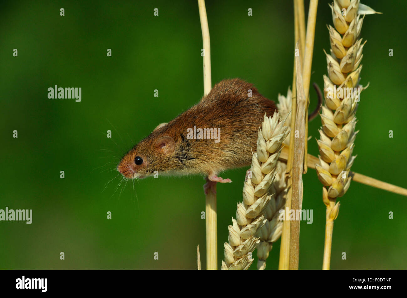 A harvest mouse on ears of corn in the summer UK - Stock Image