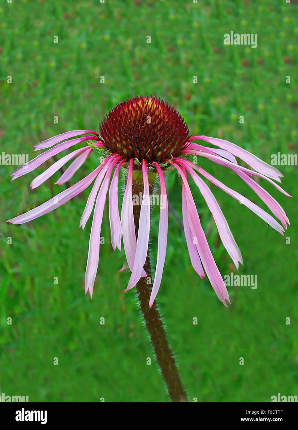 Blasser Sonnenhut, Echinacea pallida, Heilpflanzen, - Stock Image