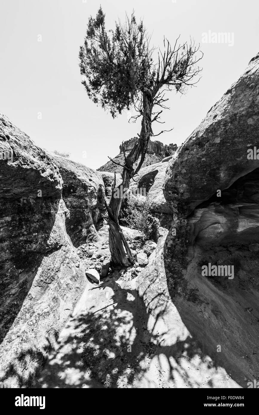 Single Tree in the Slot Canyon Black and White Photography Utah Stock Photo