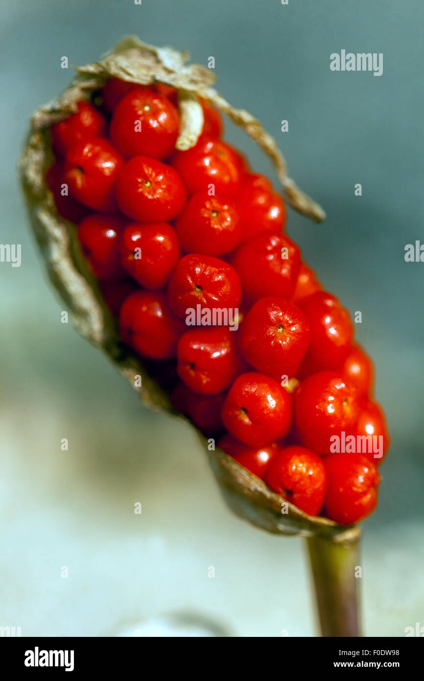 Cuckoo Pint or Lords and Ladies - Arum maculatum - poisonous berries - Stock Image