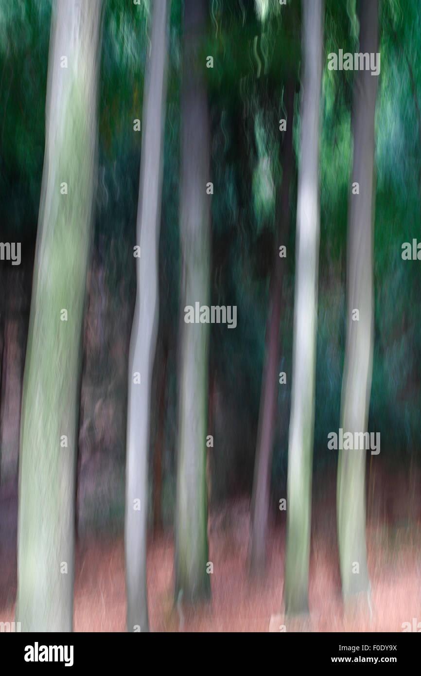 Abstract trees, Medvedi Diry, Ceske Svycarsko / Bohemian Switzerland National Park, Czech Republic, September 2008 - Stock Image