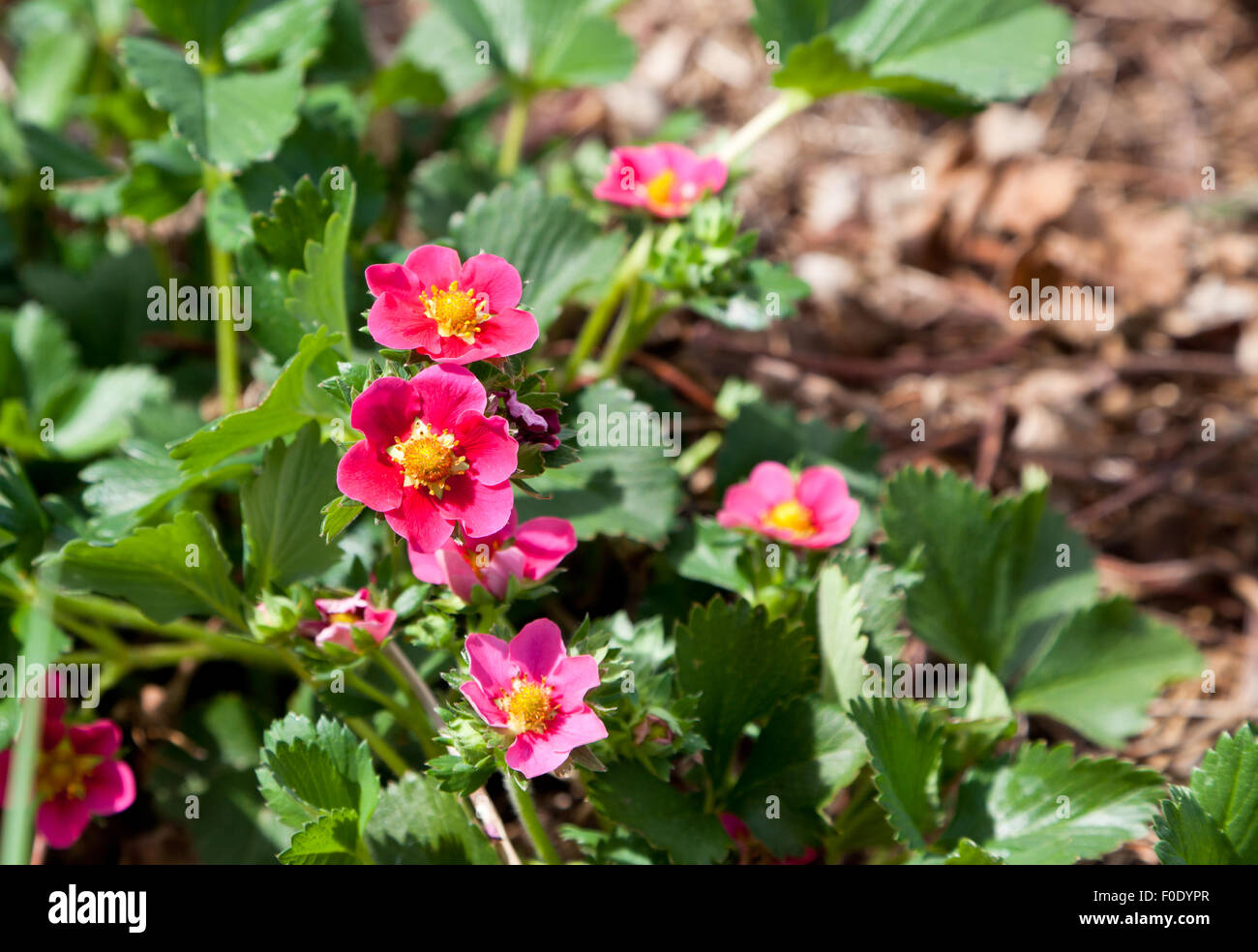 Bright pink blooms on ever bearing strawberry plants with healthy bright pink blooms on ever bearing strawberry plants with healthy green leaves and a blurred background of brown mulch mightylinksfo