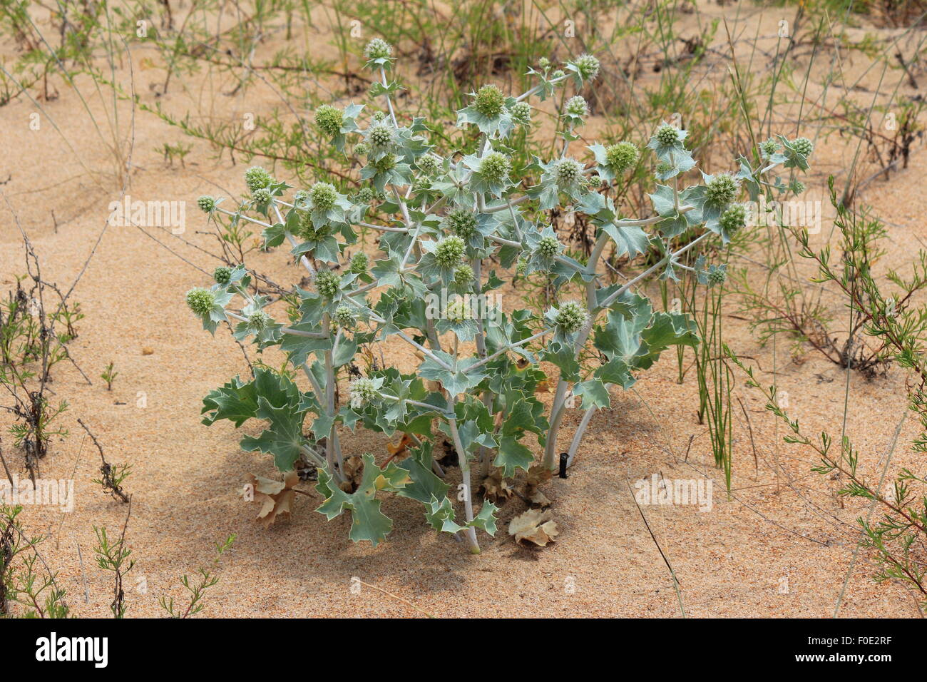 Seaside sandy dunes with a prickle and a wormwood - Stock Image