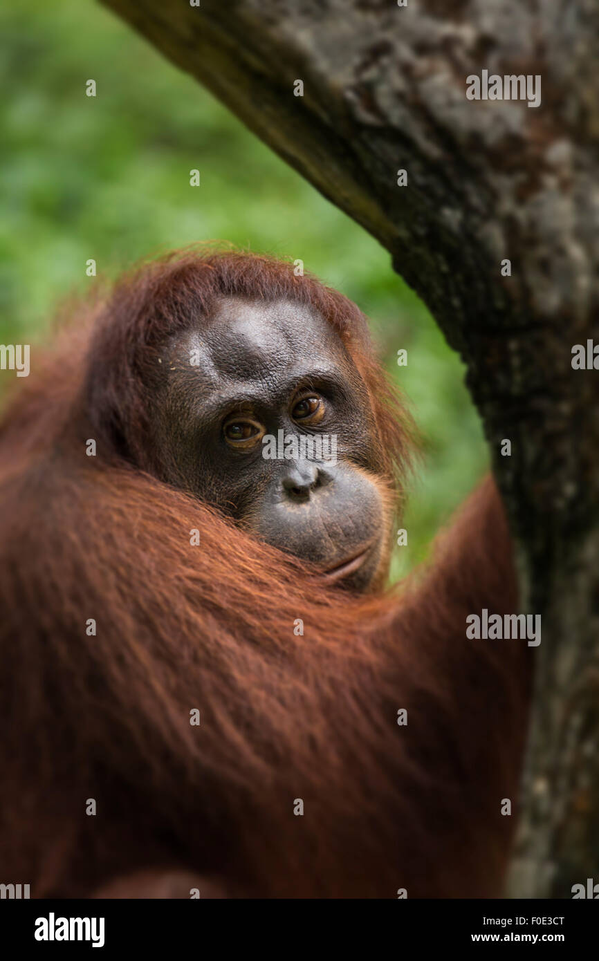 Orangutan at zoo in Taiwan - Stock Image