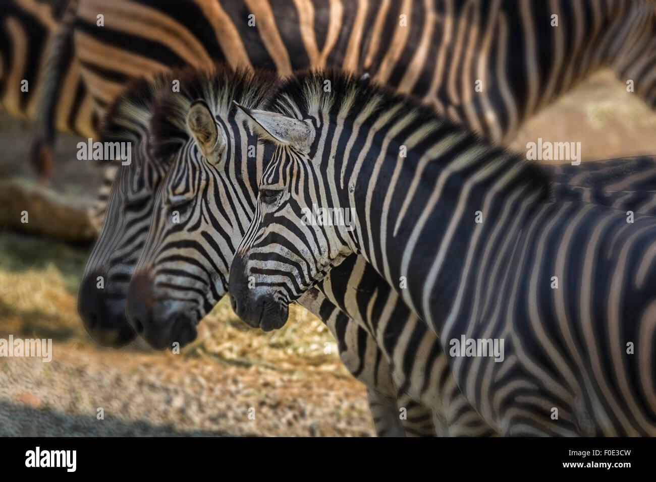 Zebra at zoo in Taiwan - Stock Image