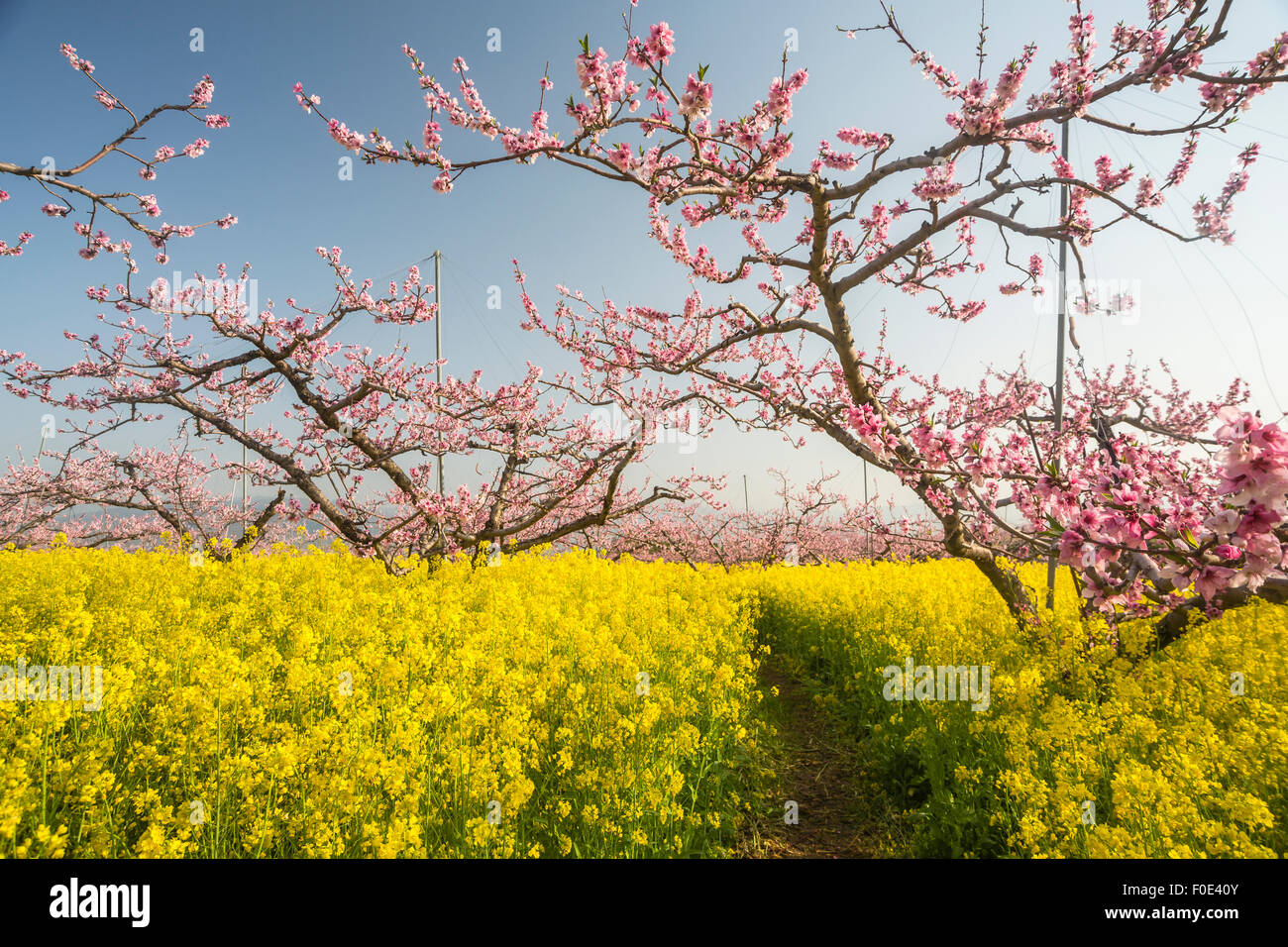 Peach Trees And Mustard Flowers In Japan Stock Photo 86362331 Alamy