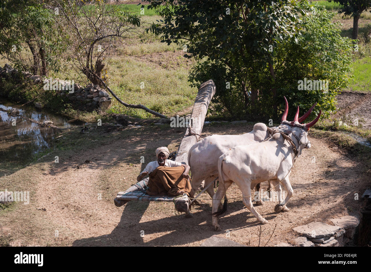 India; road from Udaipur to Jodhpur. Old man driving a pair of oxen to power a water wheel for irrigating the fields. - Stock Image