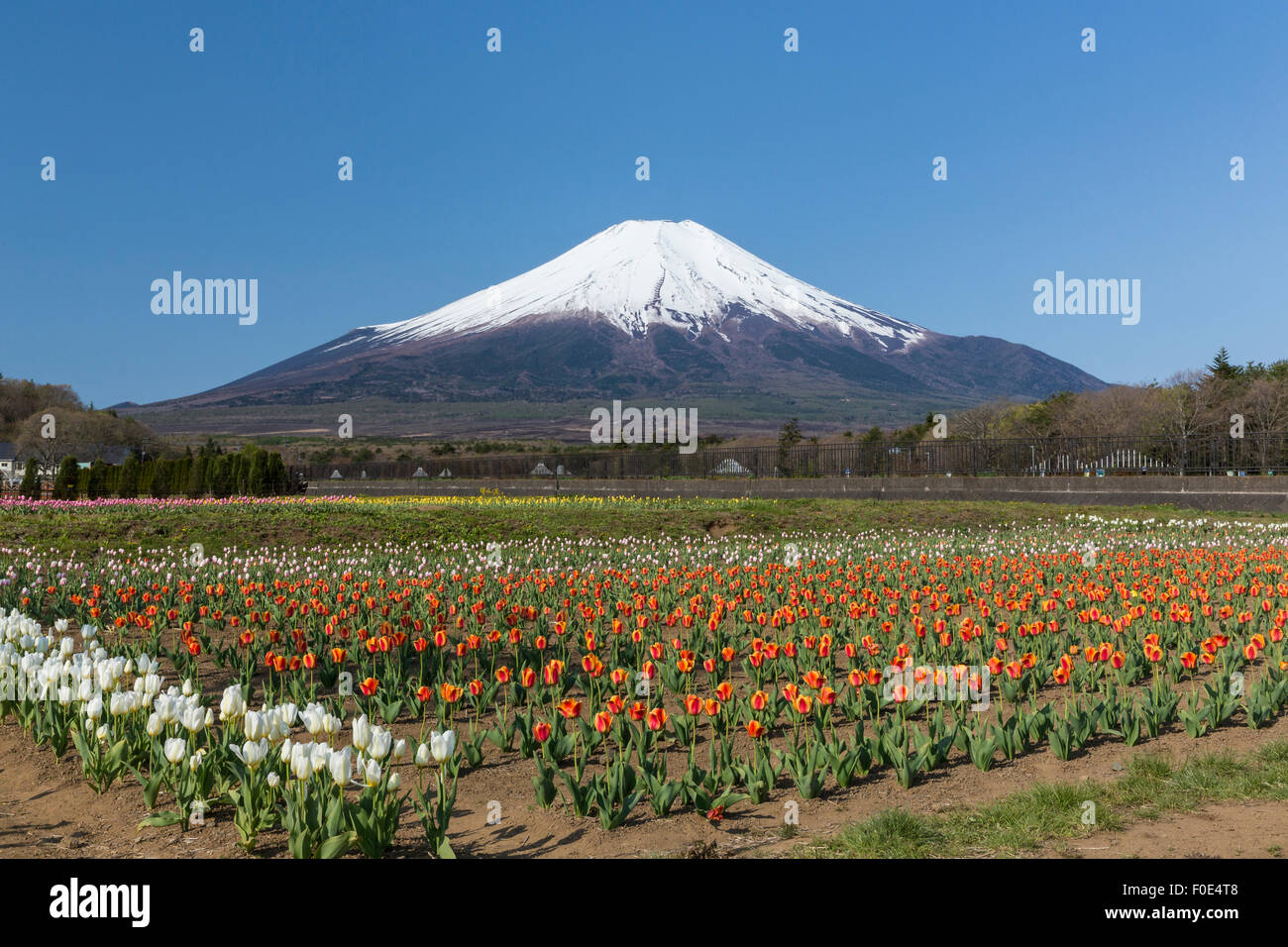 Mt Fuji And Tulip Flowers In Japan Stock Photo 86362984 Alamy