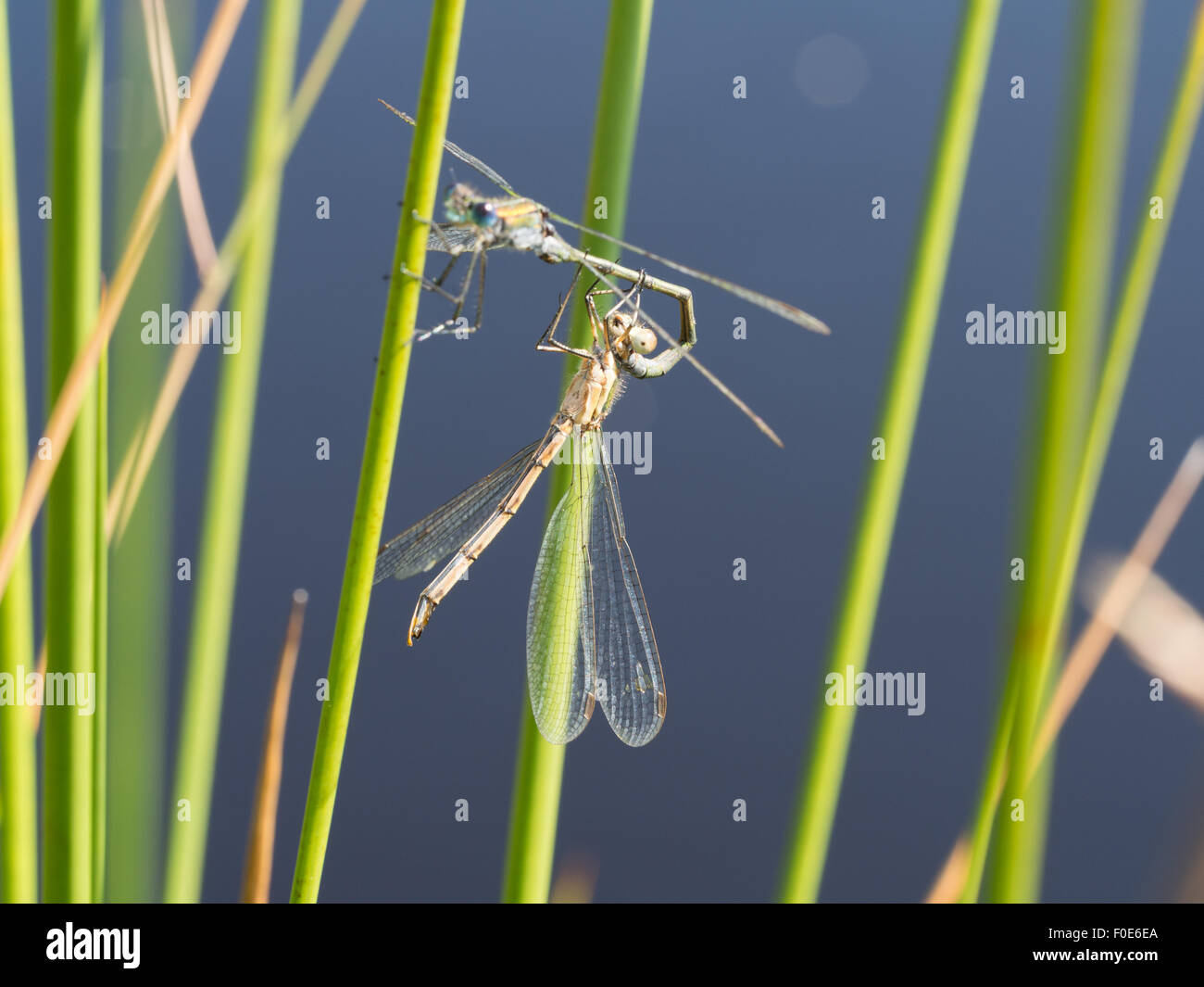 Dragonflies at the edge of a pond on the North York Moors - Stock Image
