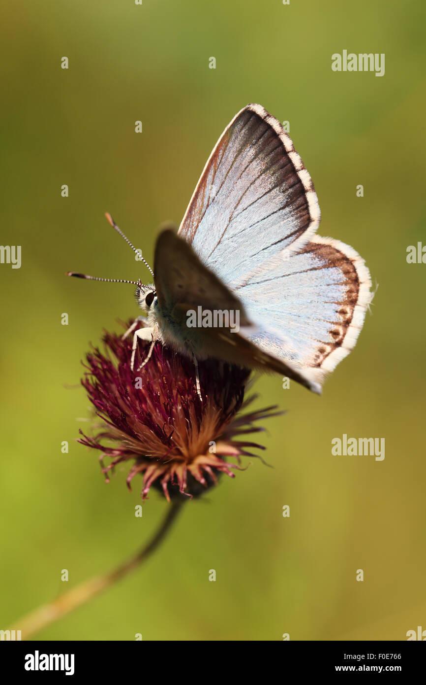 Chalkhill Blue (Lysandra coridon) - Stock Image