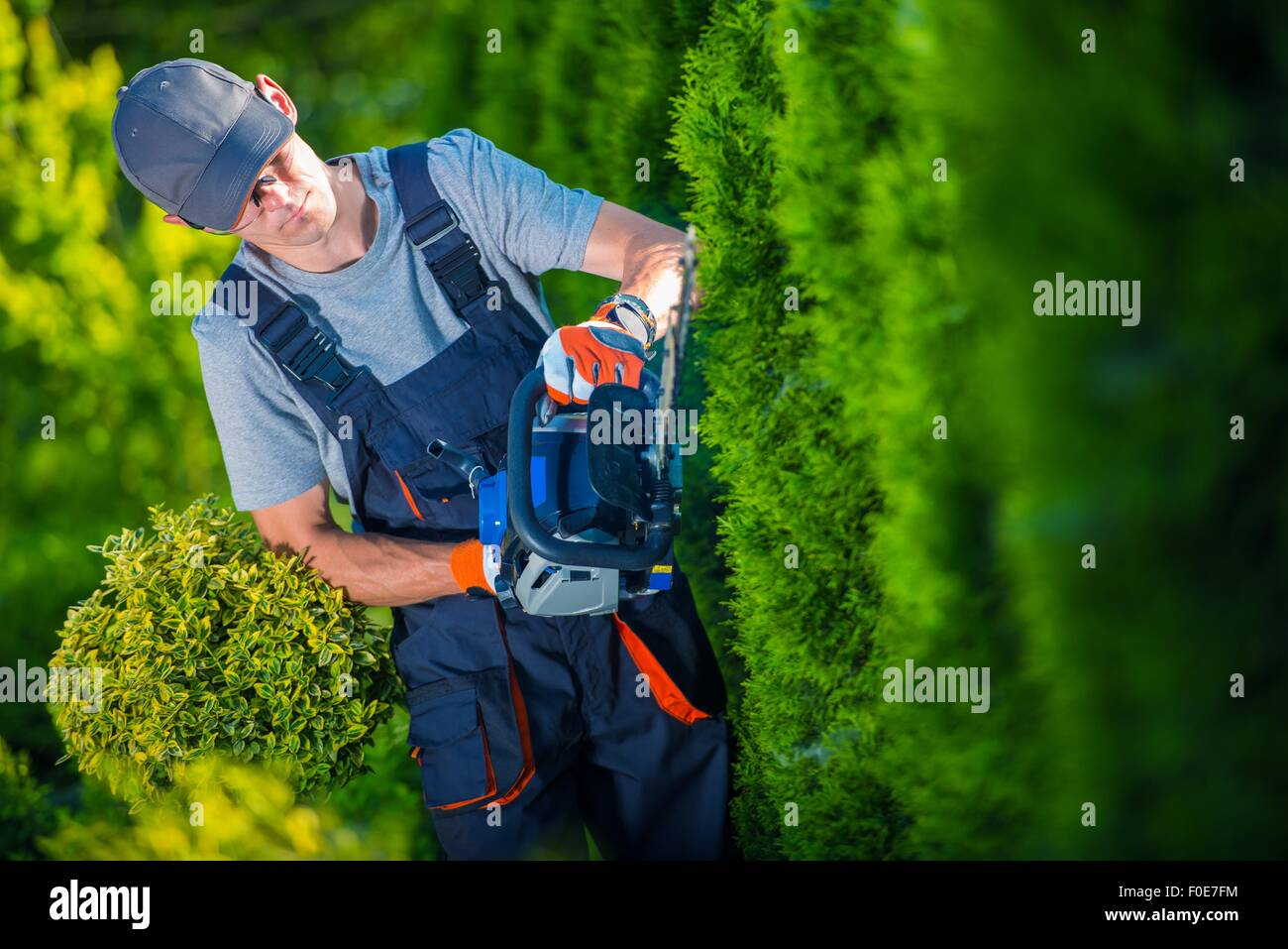 Hedge Trimmer Works. Gardener with Gasoline Hedge Trimmer Shaping Wall of Thujas. - Stock Image