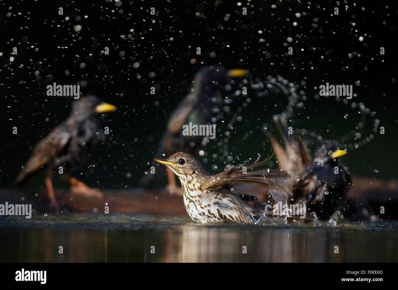 Song Thrush (Turdus philomelos) bathing with Common starling {Sturnus vulgaris} behind, Pusztaszer, Hungary, May - Stock Image