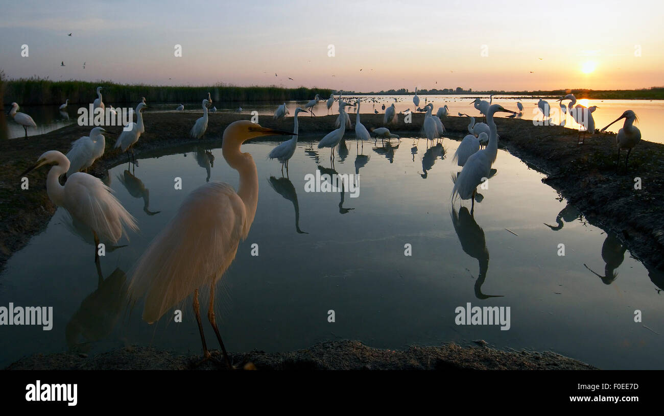 Great Egret (Ardea alba) large flock at water, Pusztaszer, Hungary, May 2008 - Stock Image