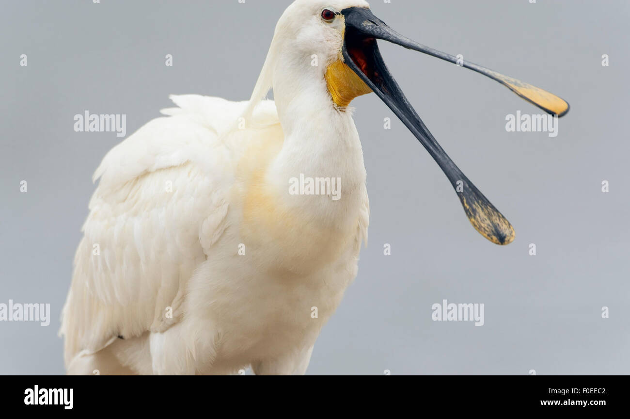 White spoonbill (Platalea leucorodia) with beak open, Pusztaszer, Hungary, May 2008 - Stock Image