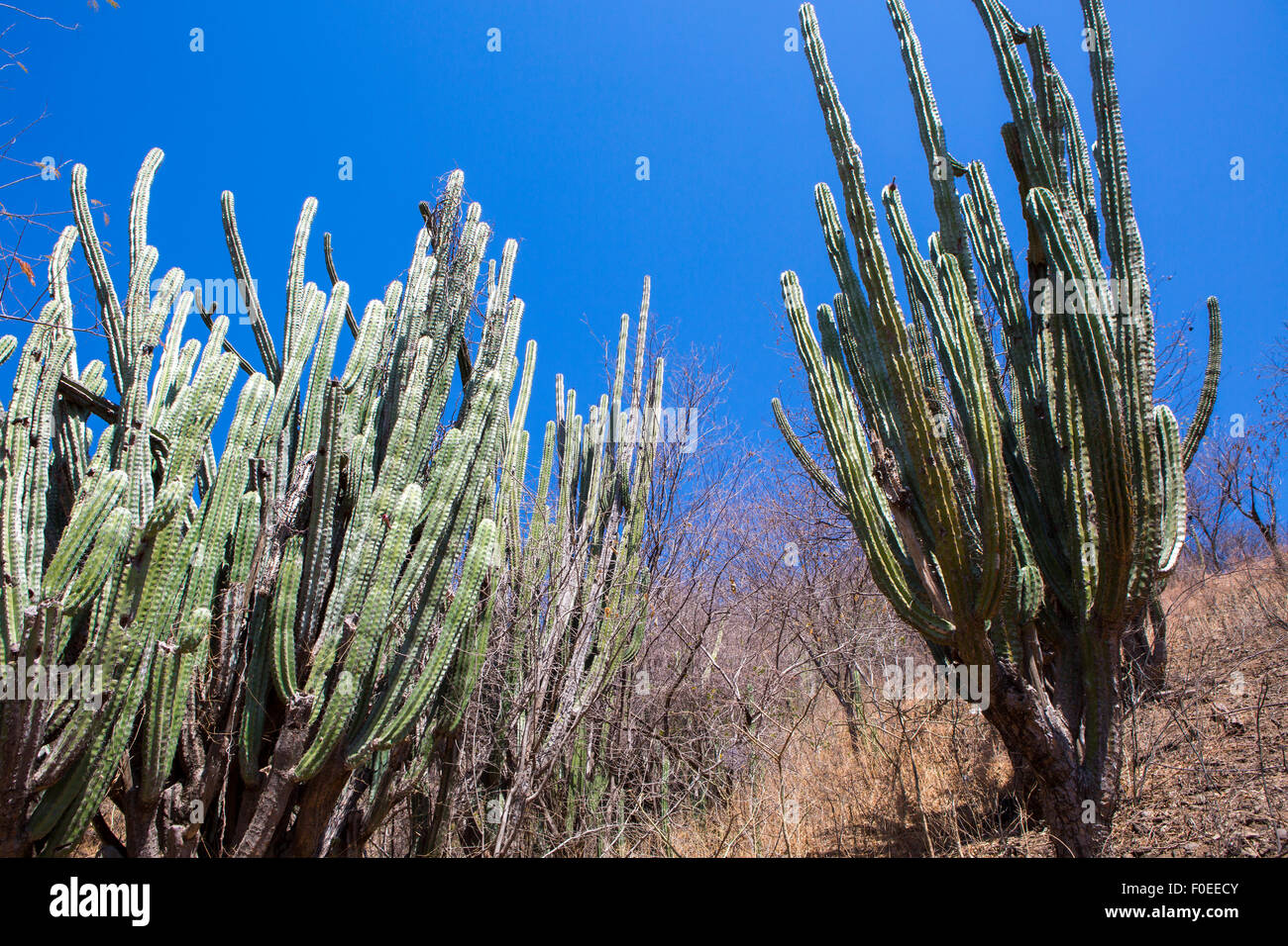 Dense cactus growth in a dry desolate desert. Taganga, Colombia 2014. Stock Photo
