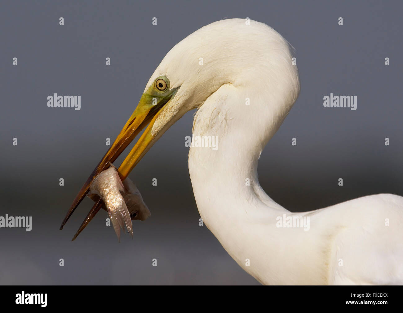 Great Egret (Ardea alba) with fish in beak, Pusztaszer, Hungary, May 2008 - Stock Image