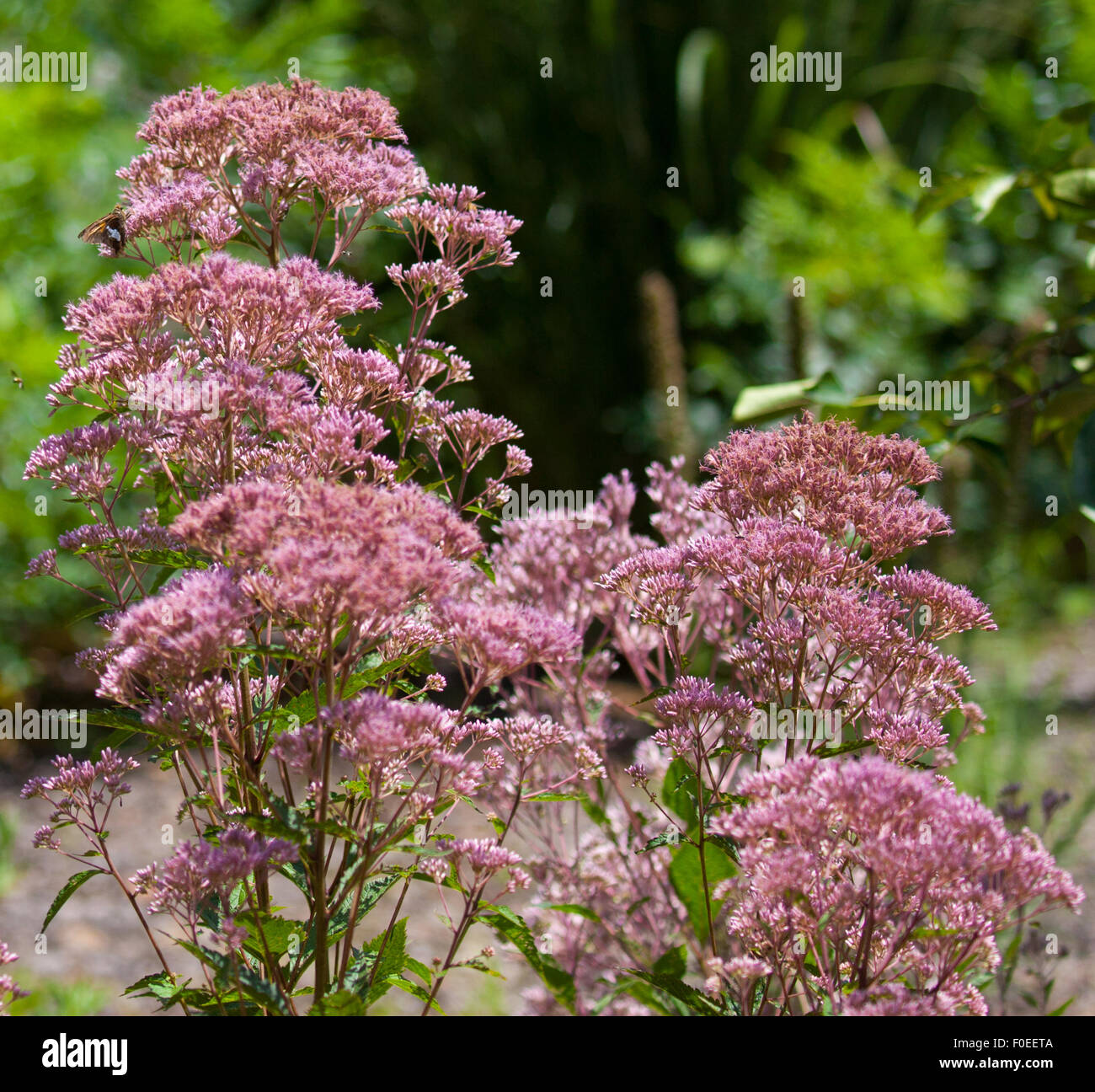 Joe Pye Weed (Eutrochium purpureum) blooming in a garden - Stock Image