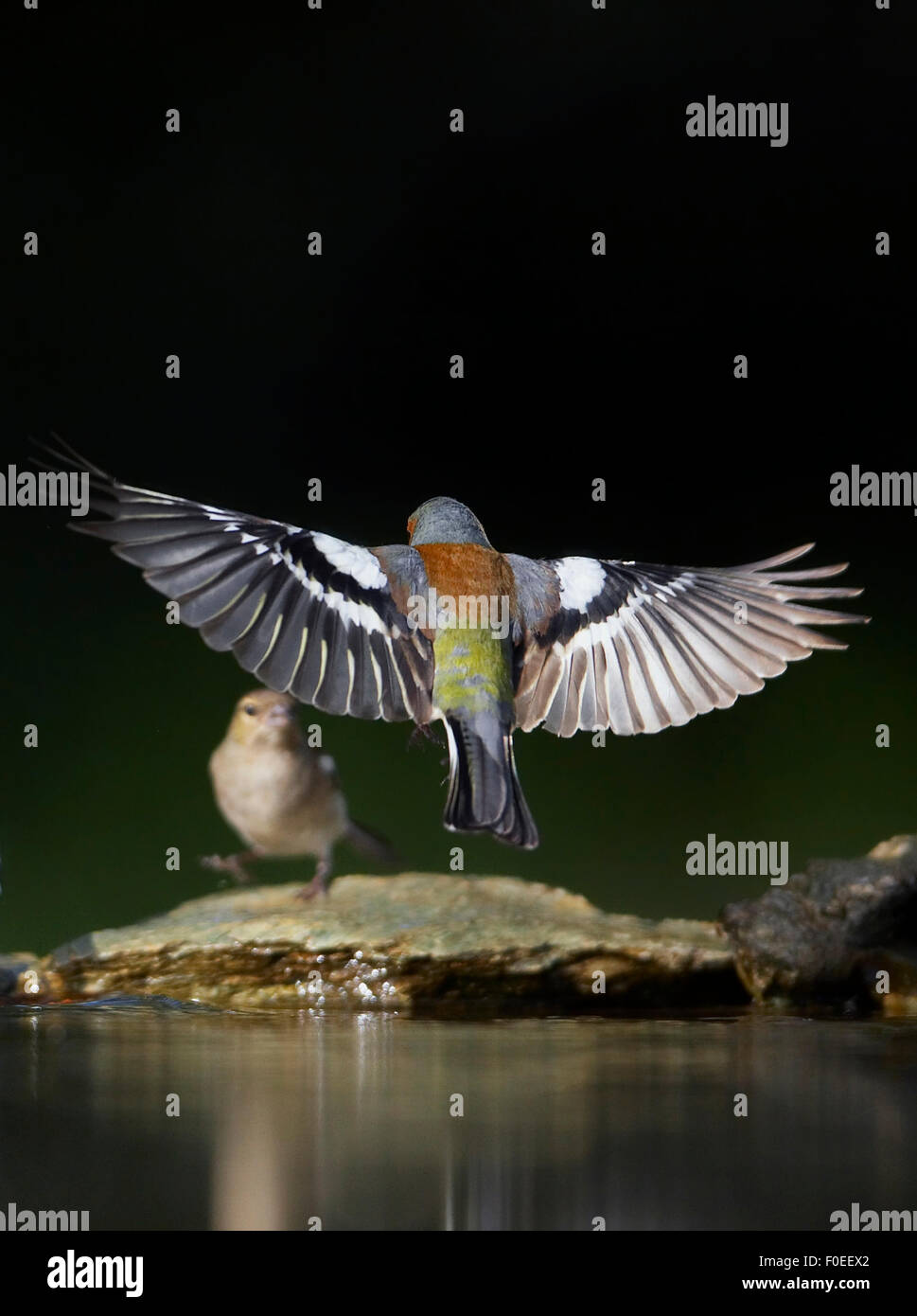 Chaffinch (Fringilla coelebs) male landing at water, Pusztaszer, Hungary, May 2008 - Stock Image