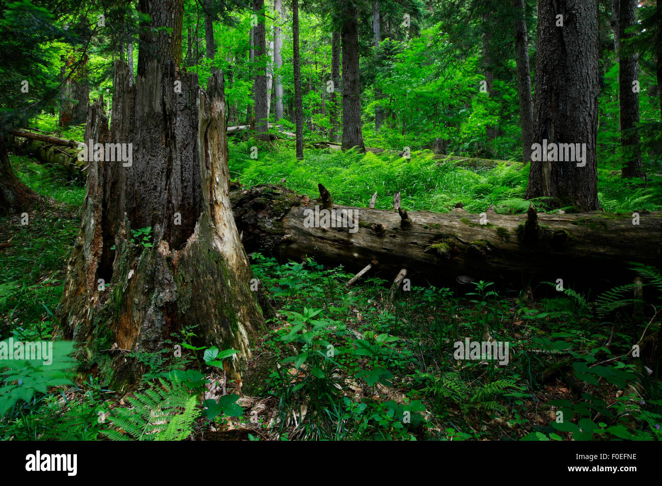 Nordmann fir (Abies nordmanniana) trees in the Arkhyz valley, western part of the Teberdinsky Biosphere reserve, - Stock Image