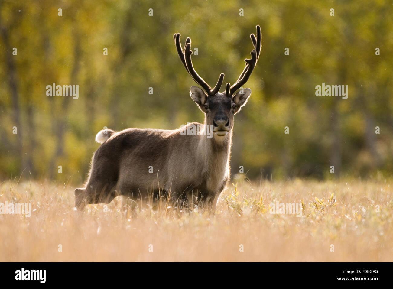 Reindeer (Rangifer tarandus) portrait, semi-domesticated, small scale herding by local Sami, Sarek National Park, - Stock Image