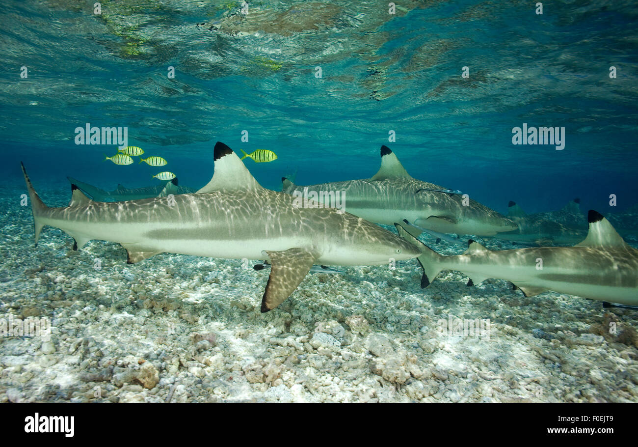 BLACKTIP REEF SHARK SWIMMING IN SHALOW WATER - Stock Image