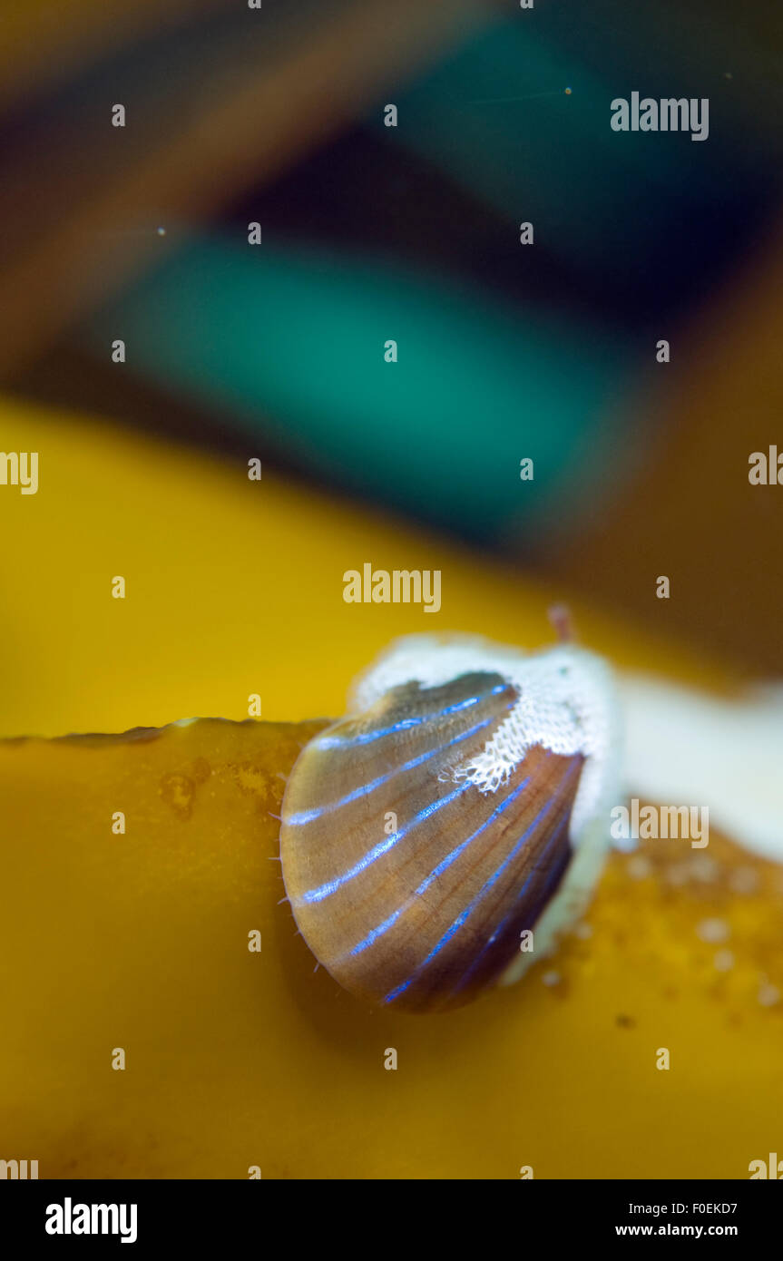 Blue rayed limpet (Patina / Ansates pellucida) with Sea-mat / Lacy crust bryozoan (Membranipora membranacea) growing - Stock Image