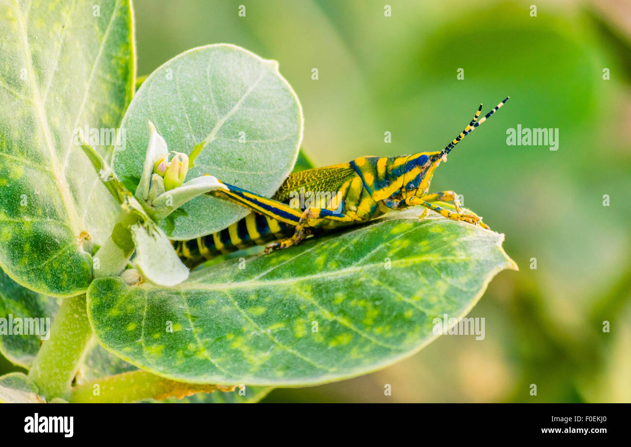 Gaudy Grasshopper on a leaf - Stock Image