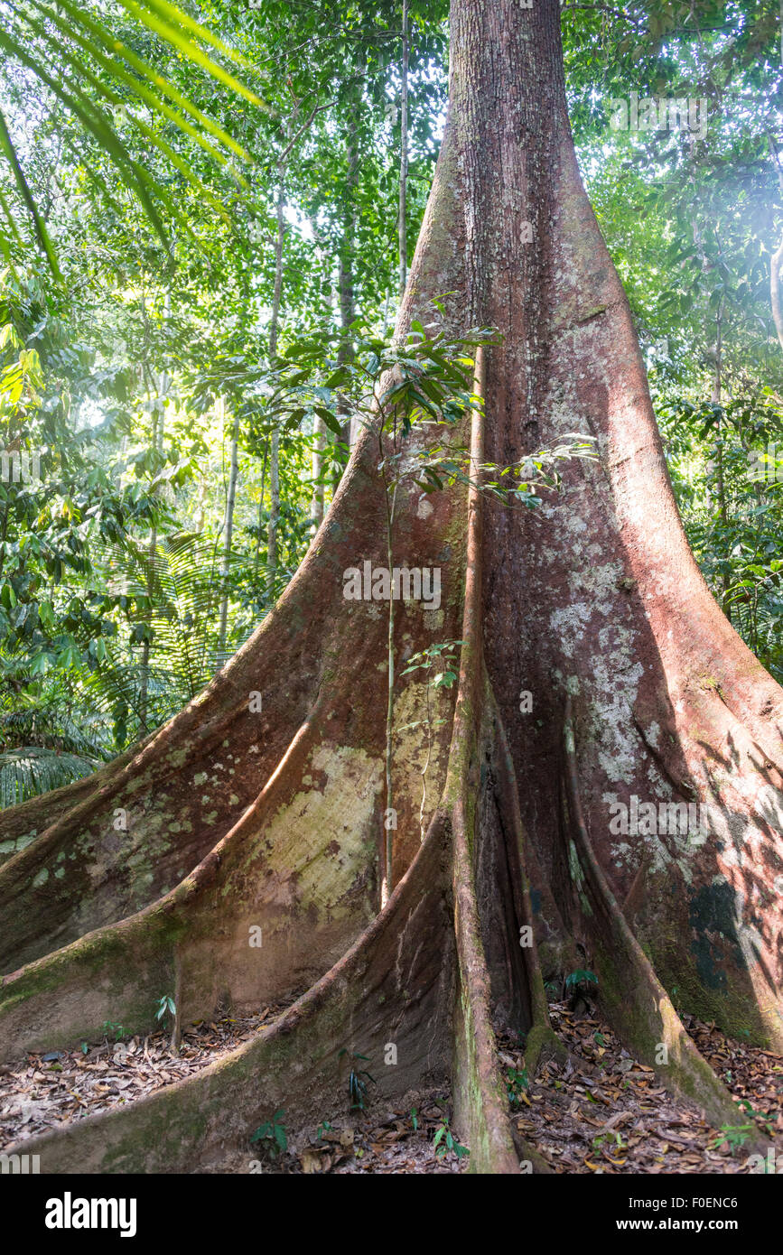Buttress roots of an old forest giant in the jungle, tropical giant tree in the rainforest, Taman Negara, Malaysia Stock Photo