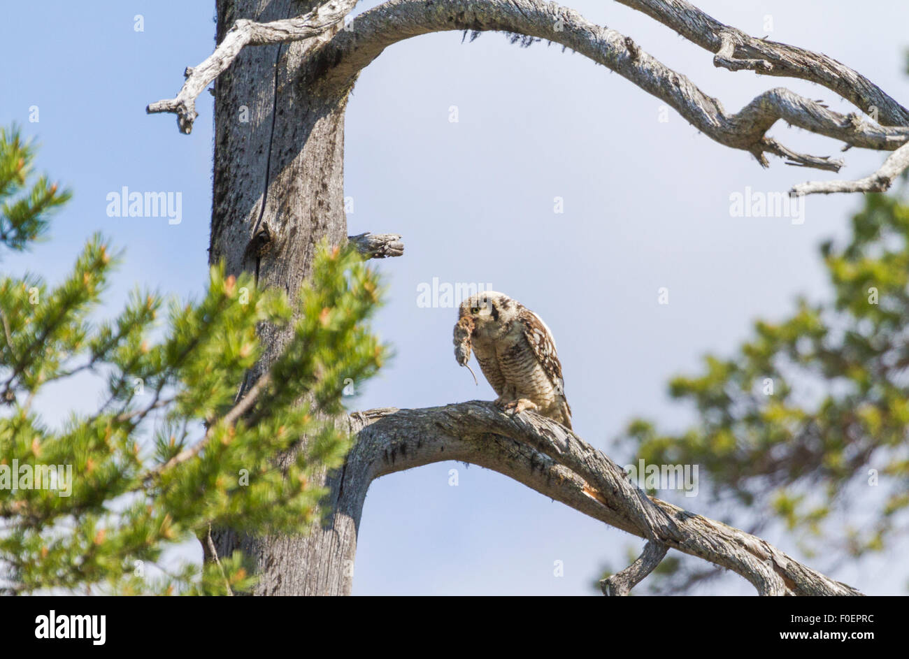 Adult Northern hawk-owl, Surnia ulula, sitting in an old tree with a vole in his beak, Gällivare, Swedish Lapland, - Stock Image
